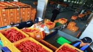 양파에 이어 고추도 가격 폭락하나!
