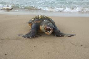 국제보호종 붉은바다거북, 포항해안가에서 죽은채 발견