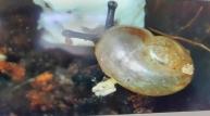 국립생태원, 멸종위기종 참달팽이 인공증식 성공