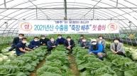 청정 죽장에서 재배되는 포항 수출용 '봄 배추' 생산 본격 출하!
